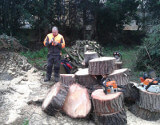 Tree Surgeon and Cut Tree