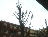 Reduced Tree Crown in North London
