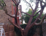 tree pruning in South London
