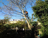 professional arborist in London in action